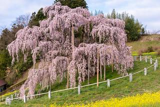 Miharu Takizakura -The Old Big Cherry Tree-