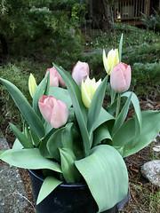 94/365: Easter Tulips