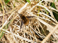 Photo of Dark edged beefly 2