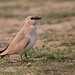 An Small Pratincole watching us cautiously