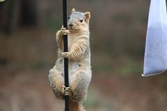 Backyard Red & Fox Squirrels (Ypsilanti, Michigan) - 95/2021 298/P365Year13 4681/P365all-time (April 5, 2021)