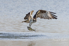A good day for an osprey, a bad day for a trout