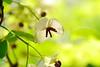 アケビの花