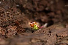 Photo of Peeping Bud