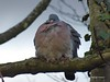 Skunnert Pigeon