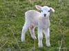 Cute Wee Seamill Lamb