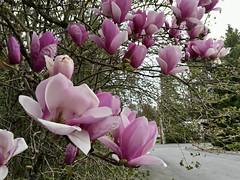 97/365: Magnolia Season