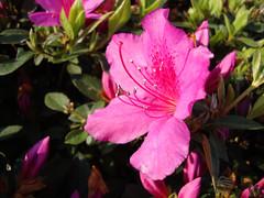 Azalea Blossom And Foliage.