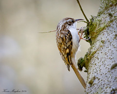 Photo of Treecreeper_82A6839