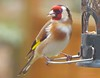 Golfinch at Seed Mix1