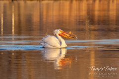 Pelican catches breakfast at dawn
