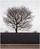 Tree, Clydebank