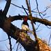 Red-headed Woodpecker, Juvenile