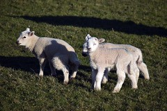 Photo of Spring Lambs