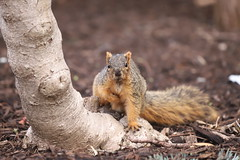 Fox Squirrels in Ann Arbor at the University of Michigan 99/2021 302/P365Year13 4685/P365all-time (April 9, 2021)