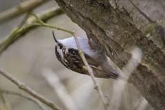 Photo of (043) Bird - Treecreeper - Marsh Lane North Cove