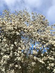 100/365: Magnolia Blossoms and Sky