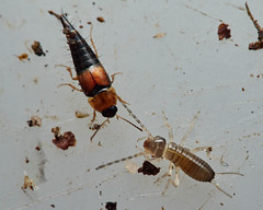 Photo of wiglet and rove beetle