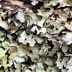 Photo of Shield Lichen, Parmelia sulcata
