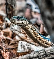 Portrait of a garter snake