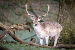 Photo of Morning deer