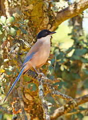 Azure Winged Magpie on branch (Medium)