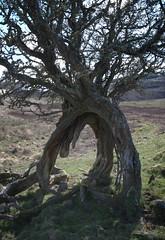 Photo of Hawthorn, Quinloch Muir DSC_6647