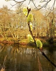 Photo of River Fowey at Lostwithiel. Nikon P100. DSCN7614.