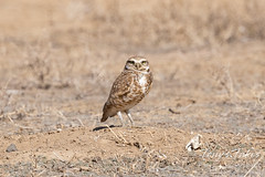 First burrowing owl of the season