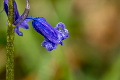 Photo of First Bluebell 2021.jpg