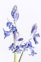 Photo of Bluebells 05