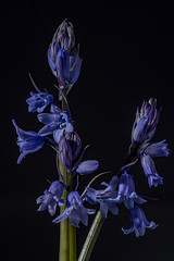 Photo of Bluebells 04