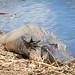 Aliigator waving Hi