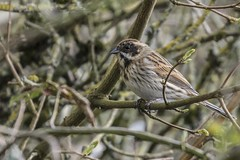 Photo of Red Bunting