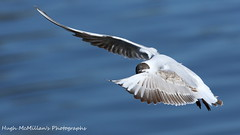 Photo of Gull