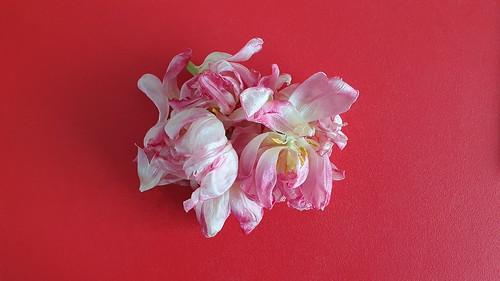 20210326 Lichtenrade Tulpen verblüht (2)