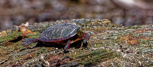 Tortue Peinte -  Painted turtle - Chrysemys picta
