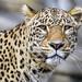 Nice leopard portrait