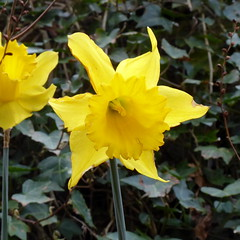 Photo of Daffodil at Chacefield Wood