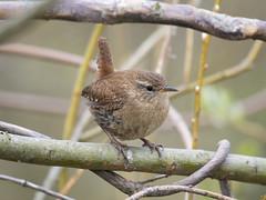 Photo of (085) Bird - Wren - By The Waveney, North Cove