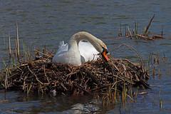 Photo of IMG_0060 Mute Swan