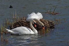 Photo of IMG_0079 Mute Swans
