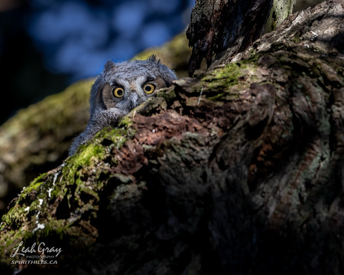 """Great Horned Owl • <a style=""""font-size:0.8em;"""" href=""""http://www.flickr.com/photos/106269596@N05/51117657324/"""" target=""""_blank"""">View on Flickr</a>"""