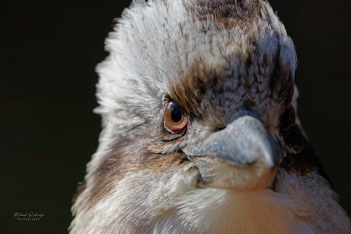 Kookaburra eye