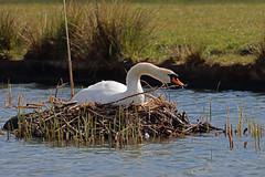 Photo of IMG_0037 Mute Swan