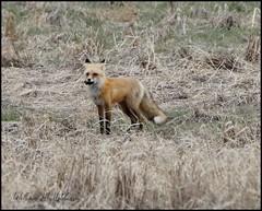 April 15, 2021 - Fox with dinner. (Bill Hutchinson)