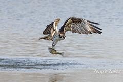 April 5, 2021 - Osprey makes a catch. (Tony's Takes)