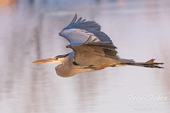 April 5, 2021 - Great blue heron makes a flyby. (Tony's Takes)