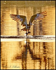 April 5, 2021 - Osprey in the golden sunrise. (Bill Hutchinson)