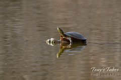 April 4, 2021 - Painted turtle on a mild day. (Tony's Takes)